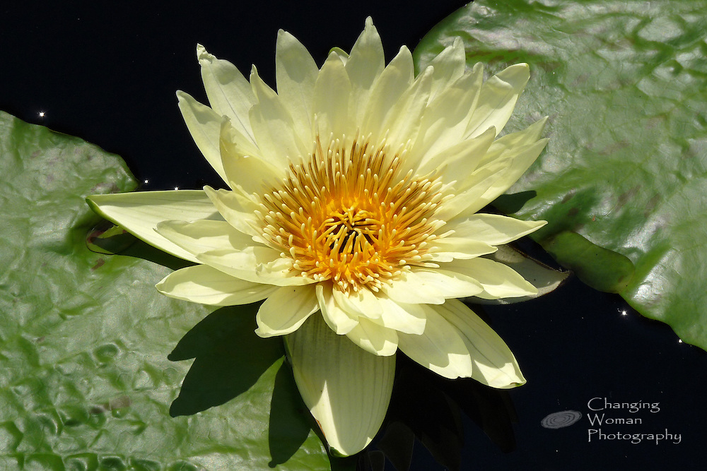 """Tropical day-blooming waterlily rises between green leaves and features citron yellow petals and pale yellow-tipped golden anthers characteristic of the """"St. Louis Gold"""" cultivar found at Longwood Gardens, July 2010."""