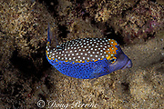 male spotted boxfish or trunkfish, endemic subspecies,<br /> Ostracion meleagris camurum, at night, Black Rock<br /> Kaanapali, West Maui, Hawaii ( Pacific )