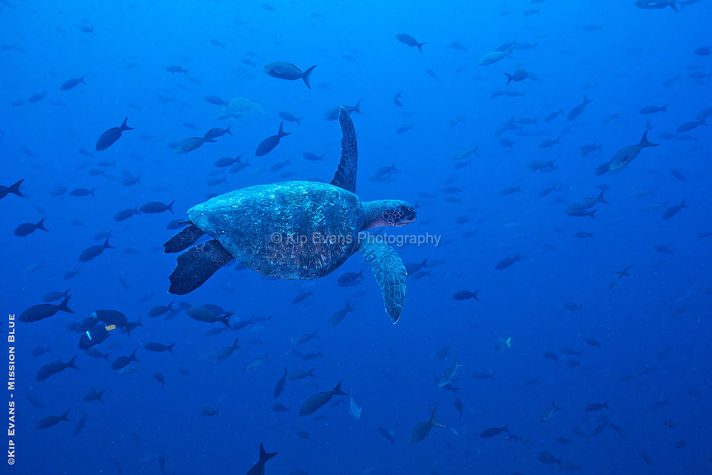 Sea Turtle, Darwin Island, Galapagos National Park