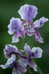 Lathyrus odoratus 'Earl Grey'.  Sweet pea.