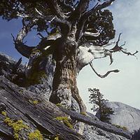 Weathered juniper on Daff Dome, near Tuolumne Meadows.