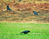 American Crow. Image taken with a Fuji X-T2 camera and 100-400 mm OIS lens.