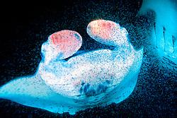 reef manta rays, feeding on plankton at night, Mobula alfredi, Kona, Big Island, Hawaii, USA, Pacific Ocean