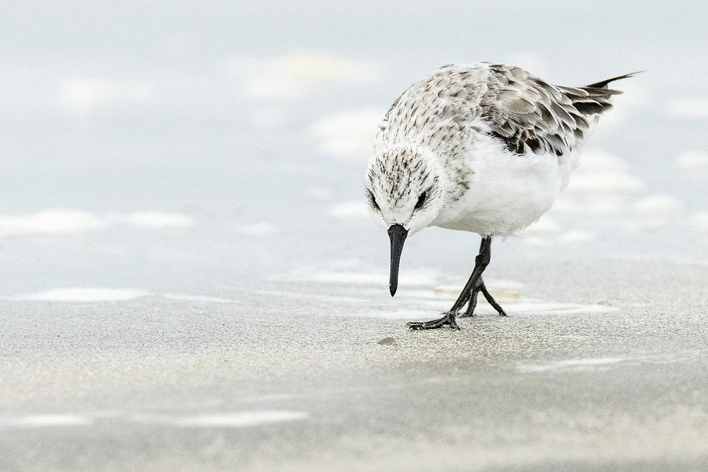 Calidris alba, Galveston Island, Texas, April 2021
