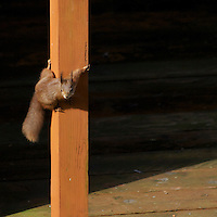 Red Squirrels on the Isle of Wight