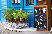 Young vines for sale. Wine shop. The town. Saint Emilion, Bordeaux, France