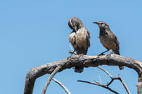 Two Cactus Wrens, Campylorhynchus brunneicapillus, perch on a branch in Saguaro National Park, Arizona
