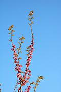Judas Tree Cercis siliquastrum, Upper Galilee Israel