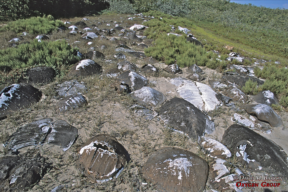 Carapaces In Turtle Graveyard