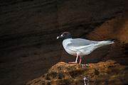 Swallow-tailed gull (Creagrus furcatus)<br /> Buccaneer Cove, Santiago Island<br /> Galapagos Islands<br /> Ecuador<br /> South America<br /> ENDEMIC