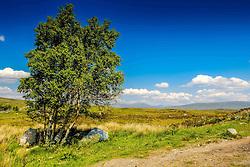 A lonely windswept tree on Rannoch Moor, Highlands of Scotland<br /> <br /> (c) Andrew Wilson   Edinburgh Elite media