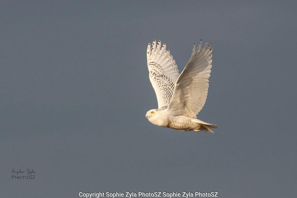 Snowy Owl Glance on Flying By