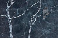 Ural Owl (Strix uralensis), Bieszczady National Park, Poland