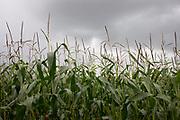 Sweetcorn crop under dark sky in Baddesley Clinton, England, United Kingdom.