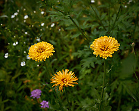 Yellow Marigold flowers in my backyard wildflower meadow. Summer nature in New Jersey. Image taken with a Leica T camera and 55-135 mm zoom lens (ISO 100, 56 mm, f/5.6, 1/500 sec).
