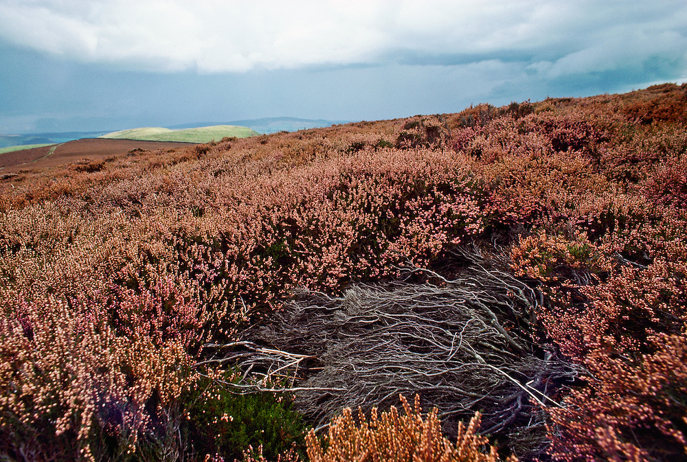 Flowers among the heather in Northern England.