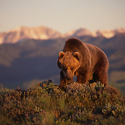 Grizzly Bear (Ursus horribilis) in the foothills, Montana. Captive Animal.