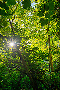 Canopy of Populus (AKA poplar, aspen, or cottonwood)  and the Old World sycamore (Platanus orientalis, AKA Oriental plane) with sun streaks