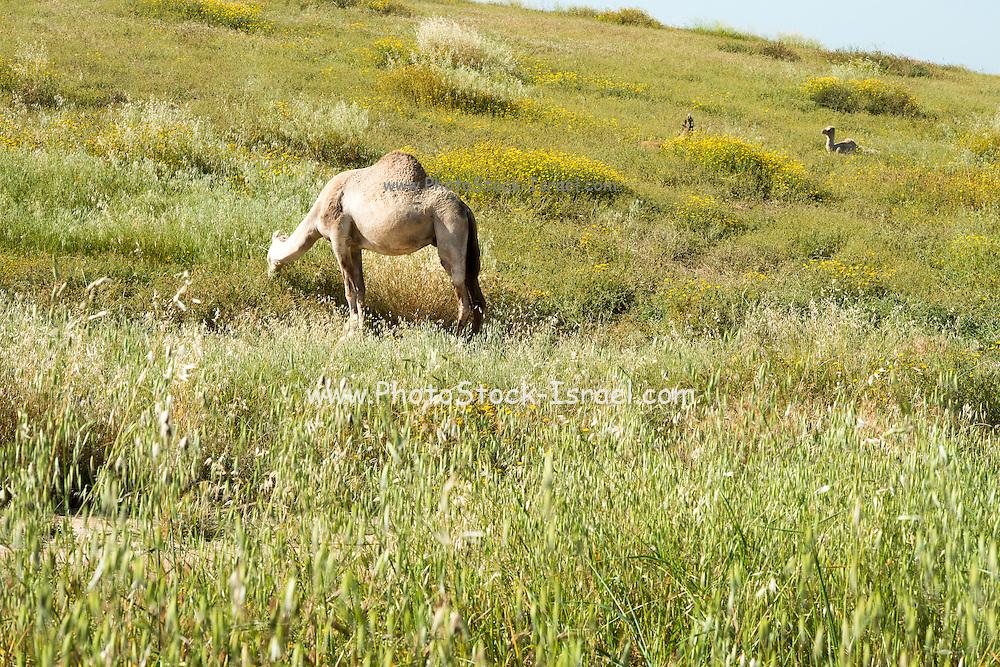 Camel grazes in a field Photographed in the Negev Desert Eshkol region