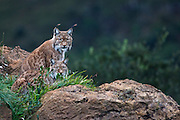 Two Lynxes are sitting on a rocky cliffside in the Wildlife Park of Cabárceno in Spain.