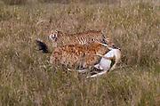 A hyena steals a cheeta's kill, a Thomson's gazelle, Serengeti National Park, Tanzania.
