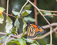 Monarch resting on a bush. Image taken with a Nikon 1 V3 camera and 70-300 mm VR lens.