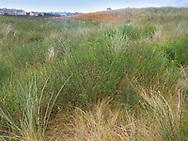 Dune Wormwood - Artemisia campestris ssp. maritima