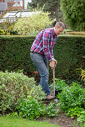 Planting out a dahlia in a border in late spring.