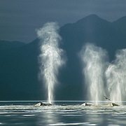 The lighting for photographing humpback whales in Southeast Alaska is unique, with a backdrop of snowy peaksmountains and forest-clad mountains frequently cloaked in wisps of ethereal mist, the rainbows There was commonly extensive cloud cover but any chinks of light that were able to break through the gloom seemed to highlight the outline of the whales and illuminate their plumes of transitory breath. The effect was even more pronounced when they were set against a backdrop of dark, forested mountains.<br /> This photo was Highly Commended in the Endangered Species category of the BBC Wildlife Photographer Competition in 2002, the same year that I won the Mammal Behavior category with a photo of a lunge-feeding whale, also taken in Tenakee Inlet.