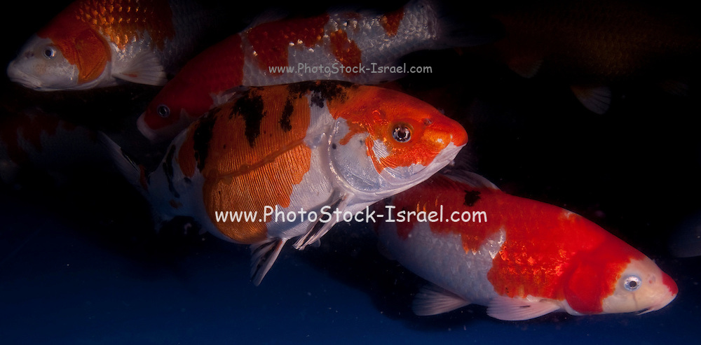 """Red white and black sanke Variety Koi (Japanese: literally """"brocaded carp""""), are ornamental domesticated varieties of the common carp (Cyprinus carpio) that are kept for decorative purposes in outdoor koi ponds or water gardens. Koi are among the longest-living vertebrates, with some animals living over 200 years. Koi varieties are distinguished by colour, patterns, and scales. The most popular category of koi is the Gosanke, which is made up of the Kohaku, Taisho Sanshoku, and Showa Sanshoku varieties.Photographed at the handpick pools at Kibbutz Maagan Michael aquaculture breeding farm, Israel"""