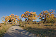 Road through cottonwoods in fall