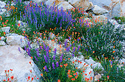Lupine and Indian Paintbrush, Tuolumne Meadows, Yosemite National Park, California USA