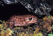 A Pacific Giant Salamander (Dicamptodon ensatus) terrestrial adult emerging from under a rock. captive, Oregon