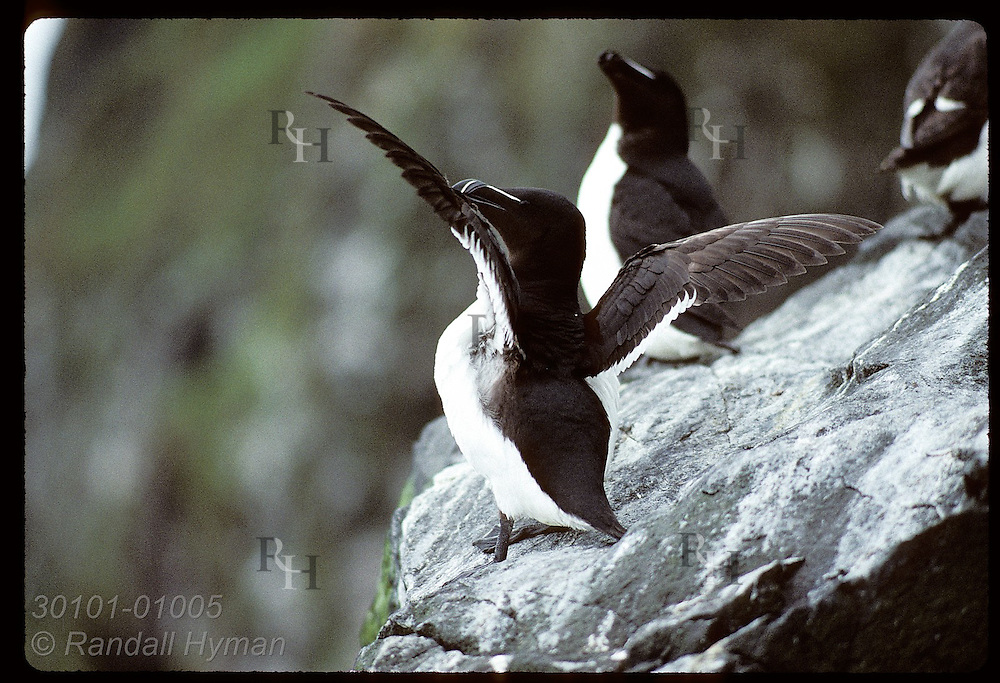 Razorbill spreads wings as it sits on rock along Hornbjarg coast in late July in the West Fjords. Iceland
