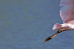 Roseate Spoonbill, Mrazek Pond