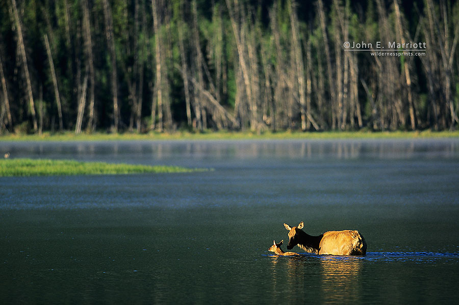 Elk cow and calf, Vermilion Lakes, Banff National Park, Alberta, Canada