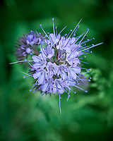 Lacy Phacelia Flowers. Image taken with a Leica SL2 camera and 24-90 mm lens.