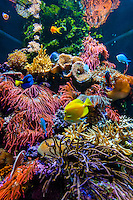 Tropical fish, Aquarium of the Bay, Fisherman's Wharf, San Francisco, California USA
