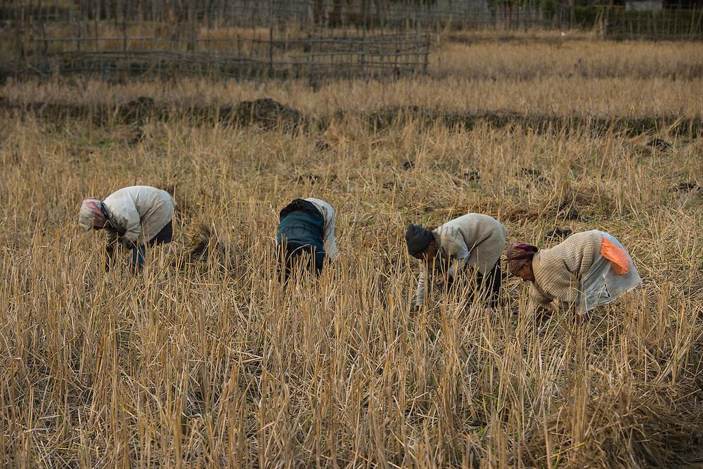 Apatani Women in rice paddy<br /> Apatani Tribe<br /> Ziro Valley, Lower Subansiri District, Arunachal Pradesh<br /> North East India