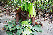 A female orangutan (Pongo pymaeus) sitting on the ground playing with leaves on her head like an umbrella, Tanjung Puting National Park, Central Kalimantan, Borneo, Indonesia