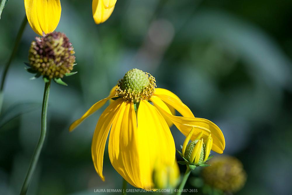 The bright yellow flowers of Cutleaf Coneflower (Rudbeckia laciniata 'Herbstsonne').
