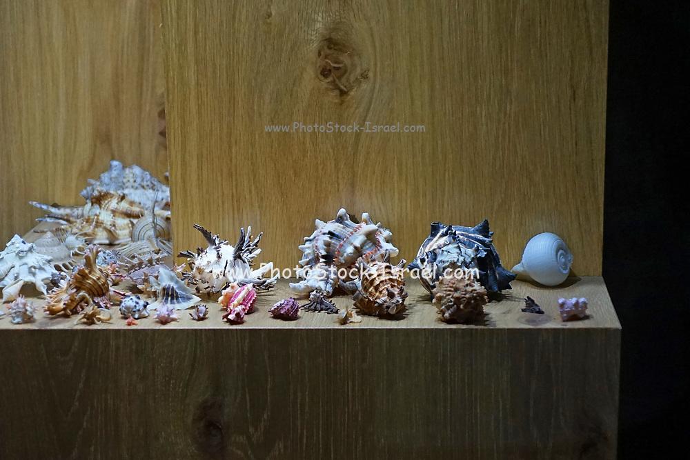 A display of elaborate exoskeleton sea shells and seashells