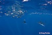 striped marlin, Kajikia audax (formerly Tetrapturus audax ), feeding on baitball of sardines or pilchards, Sardinops sagax, off Baja California, Mexico ( Eastern Pacific Ocean ) #2 in sequence of 5 images