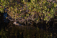 A manatee pauses for a bite to eat as it swims through the mangroves in the Florida Everglades