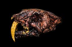 Saber tooth tiger skull, south carolina museum,