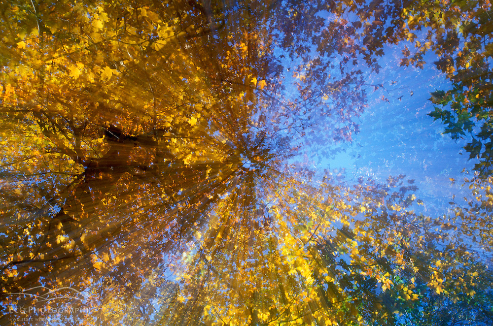 Fall in New England. Greeley Ponds Trail. Looking up at the northern hardwood forest canopy.  White Mountain N.F., NH