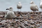 UK, September 18 2011: Gulls stand on the pebble beach at Budleigh Salterton. Copyright 2011 Peter Horrell