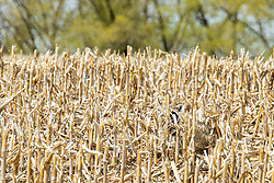A raccoon (Procyon lotor) forages in a harvested corn field looking for grain that was left behind