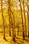 Aspens Painted Gold in Wyoming