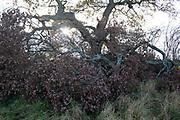 Fallen oak tree in Warwickshire landscape on 10th November 2020 near Henley-in-Arden, United Kingdom.